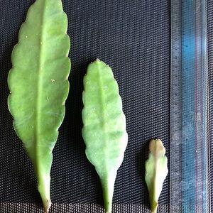 """Large 7"""" cactus succulent cutting"""